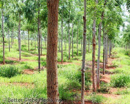trees500